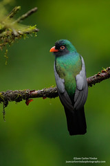 Slaty-tailed Trogon, Costa Rica (www.juancarlosvindasphoto.com) Tags: pictures portrait cute green expedition nature birds animal forest canon landscape outdoors landscapes waterfall toucan ecuador rainforest costarica photographer tour hummingbird photos unique wildlife small stock fulllength large gear amphibian nobody aves frog workshop tropical getty endangered cloudforest multicolored sideview biology mammals endemic birdwatching treefrog reptiles centralamerica poisonous protected biodiversity wildanimals rm multiflash distinctive animalsinthewild tropicalbirds frontalview birdphotography tropicaldryforest colibris rightsmanaged slatytailedtrogon trogonmassena portraitmode colibries leaffrog juancarlosvindas neotropicbirds neotropicwildlife