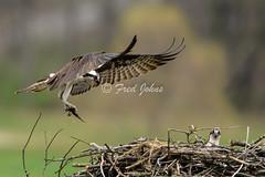 Delivery (frdjohns) Tags: wild lake bird nature pond nikon wildlife shore osprey avian wilhelmlake