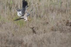 _NAT8568 (VictorD7000) Tags: espaa birds birding aves alicante birdwatching torrevieja circuspygargus rapaces aguiluchocenizo nikond7200 sigma150600sport pnlagunasdelamatatorrevieja