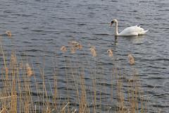 Mute Swan (nataliemarchant) Tags: birds yorkshire muteswan eastyorkshire yorkshirewildlifetrust northcavewetlands