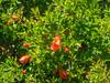 Flowering quince (melastmohican) Tags: california park red plant flower tree leaves garden season us spring bush flora branch unitedstates blossom name chinese decoration sanjose petal pi twig flowering medicine zhou variety shrub deciduous quince thorny chaenomeles rosaceae speciosa mugua semievergreen
