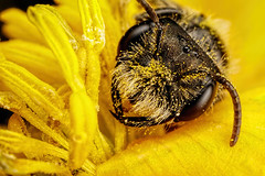Nature's Sleeping Bag III (Dalantech) Tags: macro nature insect bee pollen topaz macrophotography minerbee topazlabs