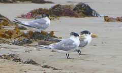 Crested Terns... (The Pocket Rocket) Tags: beach australia victoria oceangrove crestedterns thalasseusbergii