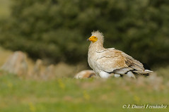 Dia mundial de la tierra (Dani (Atrus)) Tags: espaa naturaleza birds fauna spain aves egyptianvulture alimoche neophronpercnopteus jdanielfernndez elrincndelosprotegidos
