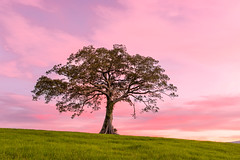 Minnumurra Tree (Chopper267) Tags: pink tree green grass canon landscape alone minimal isolated lonelytree canon1740l leefilter canon6d