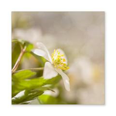 A birthday flower. (BirgittaSjostedt.) Tags: wild plant flower forest spring soft bright bokeh anemone highkey ie delightful anemonenemorosa magicunicornverybest birgittasjostedt