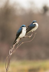 Tree Swallow (a56jewell) Tags: bird nature outdoors spring april swallow treeswallow portrowen a56jewell