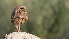 Burrowing Owls (maguire33@verizon.net) Tags: wind owl burrowingowl owlet