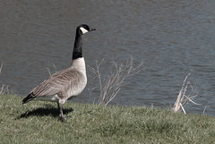 Goose, Fermilab. 1 (EOS) (Mega-Magpie) Tags: usa green nature water grass america canon outdoors eos illinois outdoor wildlife dupage goose il batavia kane fermilab winfield 60d