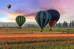 Hot Air Balloons at Wooden Shoe Tulip Festival (David Gn Photography) Tags: travel flowers oregon sunrise outdoors dawn early colorful unitedstates tulips sightseeing bloom pacificnorthwest rides recreation activity hotairballoons touristattraction springtime woodburn woodenshoetulipfestival springseason usanorthamerica