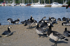 STOCKHOLM (claude.lacourarie) Tags: city sea water boats sweden stockholm bateaux goose summertime capitale oie sude