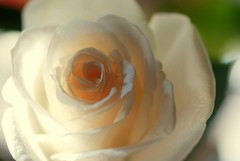 Necessities (Renee Rendler-Kaplan) Tags: light white flower macro home leaves rose petals nikon mine open blossom livingroom indoors bloom april handheld inside bouquet lit whiterose blooming necessities 2016 cutflowers nikond80 lateafternoonsunlight reneerendlerkaplan