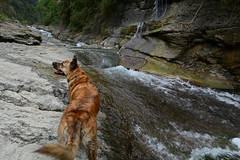 I can Smell Monkeys 1 (Bob Hawley) Tags: pets mountains dogs nature water forest outdoors asia taiwan ou rivers streams nikon1755f28 yunlincounty nikond7100 taiwantugou qingshuiriver