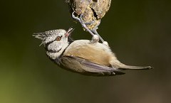 Crested Tit (J J McHale) Tags: nature scotland highlands cairngorms birdwatcher crestedtit lophophanescristatus