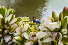 The Look! (ashik mahmud 1847) Tags: people man flower water work river waterlily lifestyle dailylife nikkor bangladesh d5100
