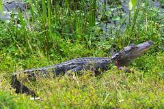 DSC_0119 (james_tolson) Tags: florida crane wildlife gators sandhill sandhillcranes alligators
