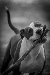 Playing American Staffordshire b&w (1 van 1) (boss.canon5d) Tags: bw dog dogs animal american amstaff americanstafford americanstaffordshire playingdog