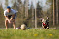 Fetch (Andrew Herter Photography) Tags: park people dog mill smile grass creek spring friend baseball ears best dachshund mans floppy wa fetch everett mccollum washionton