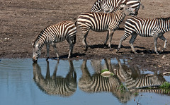 Reflecting Stripes (jrussell.1916) Tags: water reflections stripes wildlife kansascity zebras kansascityzoo zoosofnorthamerica canonef70200f4lis14tc