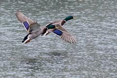 In Formation (kevnkc2) Tags: park county duck spring pond nikon pennsylvania contemporary ducks sigma cumberland lightroom shippensburg d610 stdntsdoncooper 150600mm 150600f563