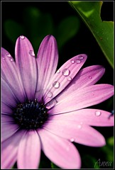 DSC_0417mod (cicci8690) Tags: macro nikon natura fiori rugiada margherita d3000