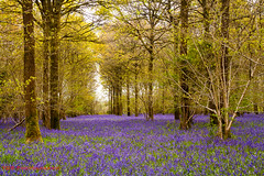 In the Bluebell Woods (TDR Photographic) Tags: uk light england bluebells canon landscape spring woods dorset possibles eos5d thedorsetrambler