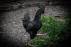 Der schwarze Hahn (graser.robert) Tags: black chicken robert nature animal photo nikon artist outdoor natur rooster gesehen garten schwarz nie tier hahn noch incredibly graser d7100 zweifelbach