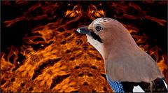 Feuervogel (Weinstckle) Tags: feuer vogel flammen rabenvogel eichelhher