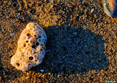 BeachedWormShell (mcshots) Tags: california sunset usa beach nature seashells evening coast sand stock shoreline socal newyearseve intertidalzone mcshots southbay gravel beachcombing losangelescounty 2015 12312015