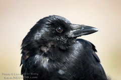 Portrait of a Raven (Lon Casler Bixby) Tags: california portrait nature birds animals closeup canon artistic bokeh wildlife fineart feathers american extremecloseup sansimeon wilderness raven interiordesign animalplanet blackbirds ravens avian scapes fineartphotography wildanimals artisticphotography naturephotography edgarallanpoe theraven travelphotography corvus commonraven portraitphotography wildlifephotography canonphotography outdoorphotography fineartprints neoichi loncaslerbixby