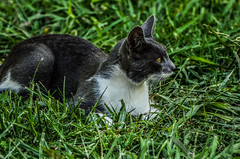 Cat. (Leonor Asselborn) Tags: verde animal de ojos linda campo gata felino bella bola mimosa mirada aire libre mascota pelos juguetona