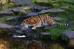 Time for a Drink (Michael Eickelmann) Tags: water reflections zoo tiere wasser wildlife tiger jungle dschungel reflektionen