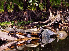 Can't Tell Heads From Tails (Phil's 1stPix) Tags: usa geotagged unitedstates riverbank geotag cooter floridawildlife santaferiver firstpix baskingturtle wildflorida realflorida floridanature floridacooter floridaturtle naturalecosystem baskingturtles floridacooters cypressroot floridacanoetrip turtlebehavior phils1stpix centralfloridariver santaferiverwildlife santaferiverturtle turtlemob santaferivercanoetrip floridacanoeing cooterlog cypressbank santaferiverbank baskingcooter