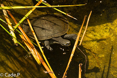 Long Neck Turtle (CadePerry) Tags: nature river neck long turtle wildlife south australia aquatic murray reptiles herps