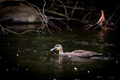 duck (nathancox1999) Tags: water duck yarravalley
