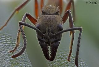 Neoponera villosa. French Guyana : Head