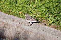 Ballerina bianca _003 (Rolando CRINITI) Tags: bird natura uccelli uccello arenzano ornitologia ballerinabianca