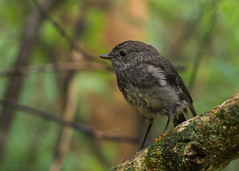 North Island Robin (hmxhm) Tags: newzealand bird nature wildlife olympus wellington aotearoa zealandia