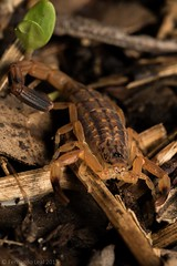 20151225-North Australia 411 (Fernando Leal Photography) Tags: macro australia escorpião