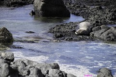 KaienaPoint012216-6890 (lsjacobs) Tags: kaena monkseal