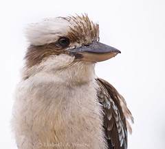 Laughing Kookaburra / Dacelo novaeguineae (Lisbeth Westra) Tags: kookaburra dacelonovaeguineae laughingkookaburra dacelo novaeguineae birdofaustralia