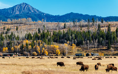 Give Me a Home... (djryan78) Tags: ranch travel autumn trees sky usa mountain tree fall field animal forest canon landscape mammal us nationalpark buffalo unitedstates outdoor wyoming dslr bison grassland moran herd grandteton grandtetonnationalpark duderanch 18135 70d wolffranch canon70d 18135stm