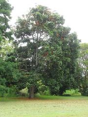 starr-120606-9532-Castanospermum_australe-flowering_habit-Kahanu_Gardens_Hana-Maui (Starr Environmental) Tags: castanospermumaustrale