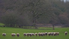 1217-22L (Lozarithm) Tags: landscape sheep studley calne k50 55300 pentaxzoom hdpda55300mmf458edwr