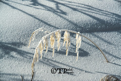 Weight (Tom Piakak) Tags: winter snow cold grass waiting weighted