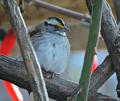 White-throated Sparrow_N9377 (Henryr10) Tags: bird yard backyard sparrow avian whitethroatedsparrow zonotrichiaalbicollis zonotrichia albicollis