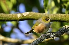Wax-eye in the evening light (Yani Dubin) Tags: newzealand christchurch sunlight tree green bird nature evening moss wildlife gimp sigma canterbury telephoto silvereye monavale whiteeye waxeye d7000 150600mmf563dgoshsm|c