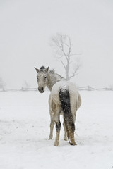 Amir VI (Nix Alba) Tags: horses horse nature weather grey outdoor arab arabian equine equines