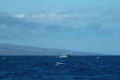 FEB 6 2016 (byronfairphotography) Tags: ocean maui whale breaching