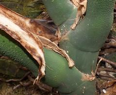 Cheese plant (Monstera deliciosa) leaf stems (shadowshador) Tags: plant cheese leaf stem stems monstera deliciosa